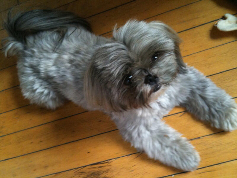 miniature shih tzu full grown when are shih tzu puppies full grown goldenacresdogs com 2130